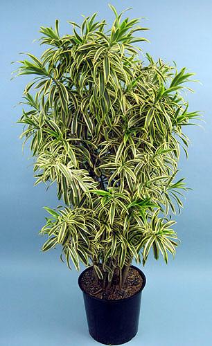 Dracaena Song Of India Sunshine Tropical Foliage