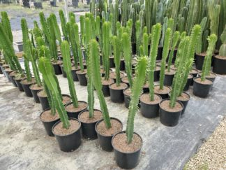 """10"""" Euphorbia eritrea"""