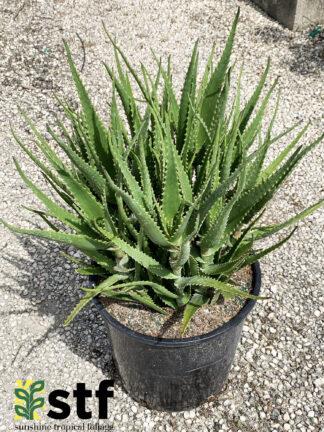 Dawe's Aloe